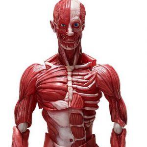 figma SP-142 Human Anatomical Model